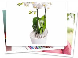 Orchidée phalaenopsis Plan International